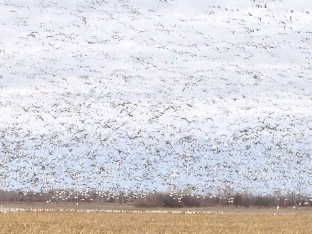 The Central Flyway of the United States is a clear pathway traveled by Snow Geese annually.  It extends from Mexico to Kansas to Canada.